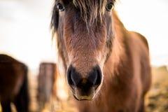 Cheval islandais dans votre visage Images stock