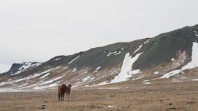 Cheval islandais en nature d'hiver banque de vidéos