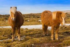 Cheval islandais jumeau photographie stock