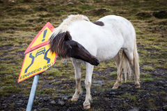 Cheval islandais rayant sur le panneau routier Photographie stock libre de droits