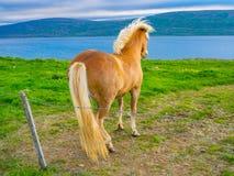 Cheval islandais se tenant sur le champ d'herbe Photos libres de droits