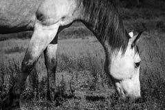 Cheval mâchant sur l'herbe noire et blanche Images libres de droits