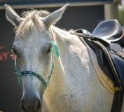 Cheval magnifique à un événement sautant de cheval équestre d'exposition images stock