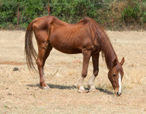 Cheval maigre image stock