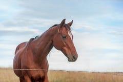 Cheval maigre de brun foncé Photographie stock libre de droits
