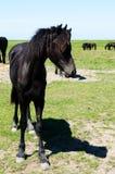 Cheval maigre noir Photos stock