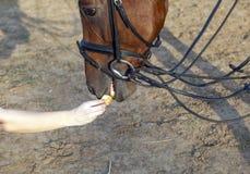 Cheval mangeant de la main Photographie stock libre de droits