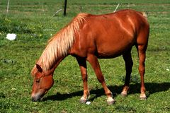 Cheval mangeant l'herbe Images stock