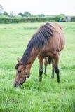Cheval mangeant l'herbe Photographie stock libre de droits