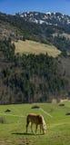 Cheval mangeant l'herbe Image libre de droits