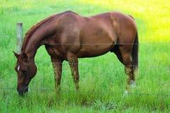 Cheval mangeant l'herbe au-dessus de la barrière de barbelé Photo libre de droits