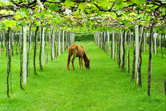 Cheval mangeant l'herbe dans le vignoble Photo stock