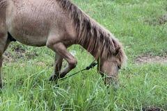 Cheval mangeant l'herbe dans les domaines Images stock