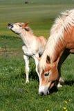 Cheval mangeant l'herbe et le poulain Photo libre de droits