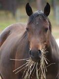 Cheval mangeant le foin Images libres de droits