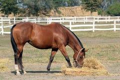 Cheval mangeant le foin Photographie stock libre de droits