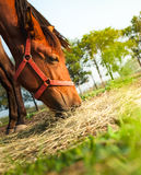 Cheval mangeant le foin Photographie stock