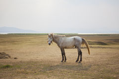 Cheval masculin blanc dans la ferme rurale image stock
