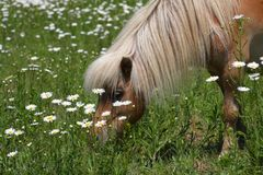 Cheval miniature Photo stock