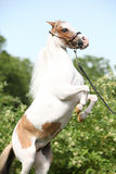 Cheval miniature américain caracolant Photo stock