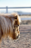 Cheval miniature avec Shaggy Winter Coat Image stock