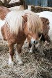 Cheval miniature de Brown avec de longs cheveux Image libre de droits