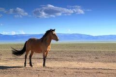 Cheval mongol Images libres de droits
