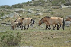 Cheval mongol de przewalski photos libres de droits