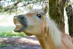 Cheval montrant ses dents image libre de droits
