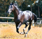 Cheval noir Images stock