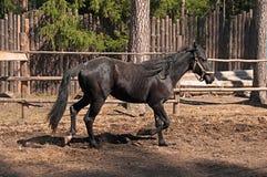 Cheval noir Photo libre de droits