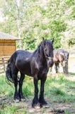 Cheval noir Images libres de droits