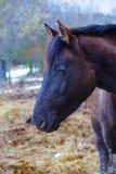 Cheval noir dans la terre sur la paille Images stock
