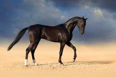 Cheval noir dans le désert photographie stock libre de droits