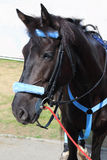 Cheval noir dans le support bleu de harnais sur la rue Photos stock