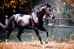Cheval noir de Beatyful Images libres de droits