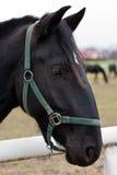 Cheval noir de Kladruber Photographie stock libre de droits