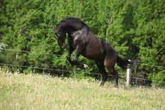 Cheval noir de kladruber sautant dedans après des pissenlits de fleur photographie stock