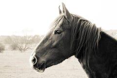 Cheval noir et blanc Image stock