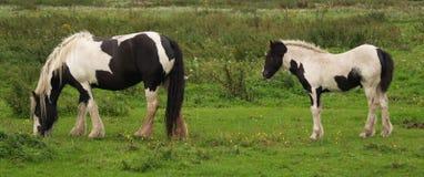 Cheval noir et blanc Photos libres de droits