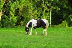 Cheval noir et blanc Photo libre de droits
