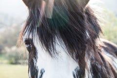 Cheval noir et blanc d'yeux bleus sur Sunny Summer Day avec l'aberration chromatique photographie stock libre de droits