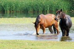 Cheval noir et brun dans l'eau Photos libres de droits