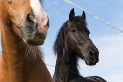 Cheval noir et brun sur un pré dans le jour d'été chaud de juillet Images stock