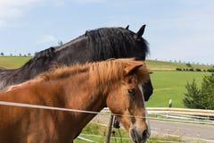 Cheval noir et brun sur un pré dans le jour d'été chaud de juillet Image stock