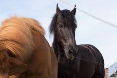 Cheval noir et brun sur un pré dans le jour d'été chaud de juillet Images libres de droits