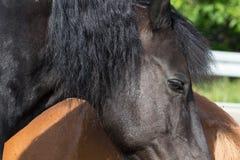 Cheval noir et brun sur un pré dans le jour d'été chaud de juillet Photographie stock libre de droits