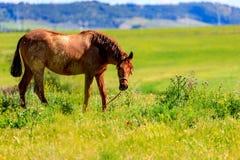 Cheval noir frôlant au printemps dans le pré photo libre de droits