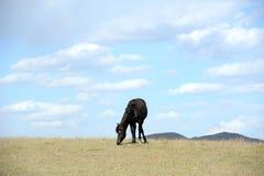 Cheval noir frôlant dans le domaine d'automne Image libre de droits