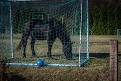 Cheval noir mangeant l'herbe dans le but de terrain de football, fauchant l'herbe photographie stock